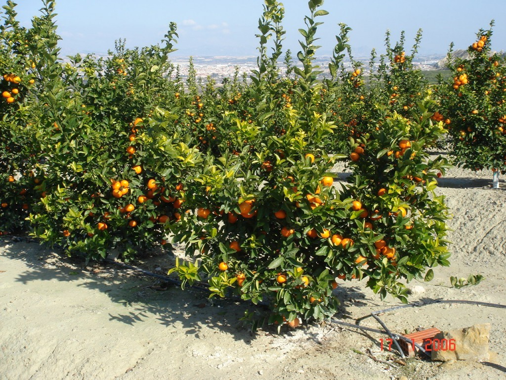 Innovative Agriculture/Horticulture – Oranges