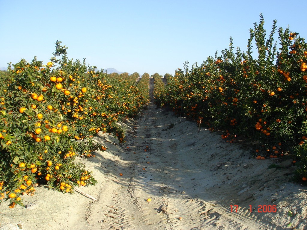 Innovative Agriculture/Horticulture – Orange Trees