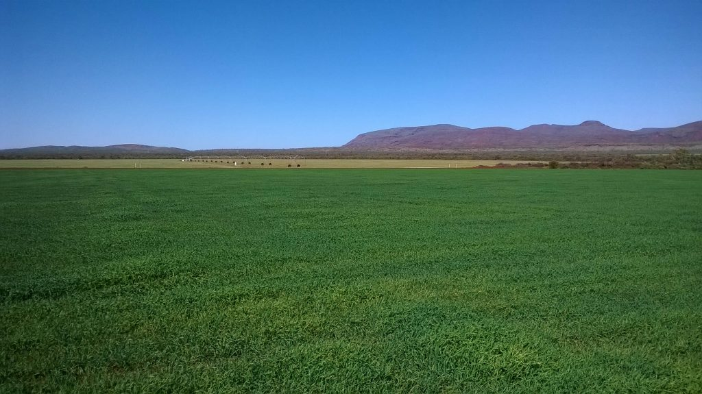 Growing oats in the Pilbara